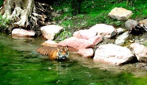 ffm-zoo-tiger-baden-8-7-01